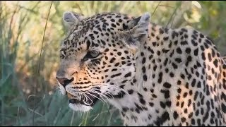 Download Safari Live : Shadow Female Leopard and her Cub on drive this afternoon Jan 13, 2018 Video
