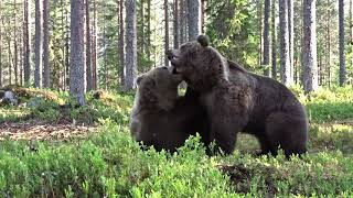 Download Best Bear fight ever! Video