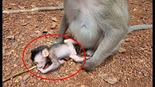 Download pity baby monkey just was born kidnapping by other monkey, mother money cannot get him back baby cry Video