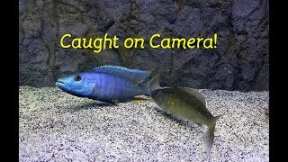 Download Watch Fish Reproduce....Caught on Camera!! Video