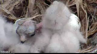 Download Third And Final Red-tailed Hawk Chick ″I3″Hatches! – May 2, 2019 Video