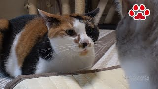 Download しぴ、三毛猫を殴る【瀬戸の猫部屋日記】Chipie slapped at calico cat Video