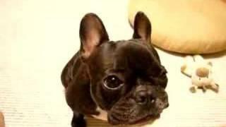 Download りんごを味わって食べる French Bulldog anko フレンチブルドッグ あんこ Video