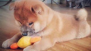 Download Dey potat dey disrespecc - MLIP / Ep 156 / Shiba Inu puppies Video