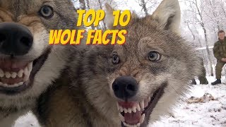 Download TOP 10 WOLF FACTS - EVERYTHING YOU EVER WANTED TO KNOW ABOUT WOLVES Video