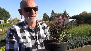 Download Karłowate i wolno rosnące krzewy liściaste do ogrodu Video