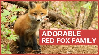 Download Red Fox Mother and Her Baby Kits Playing Video