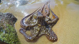 Download Catching, Cleaning & Cooking Octopus! Video