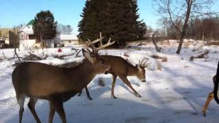 Download Hand feeding deer Video