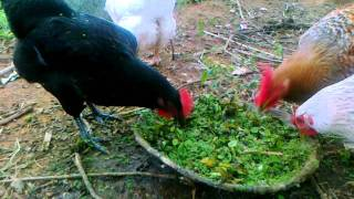 Download organic backyard small poultry Video