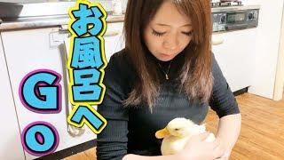 Download 初めてのプールで小松菜をたくさん食べるアヒルの子【コールダック】 Video