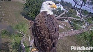 Download SWFL Eagles ~ Starlings & Kestrel Visit; M15 Delivers UFO & Huge Fish 1.27.17 Video