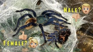 """Download """"Please DON'T be a MALE !!!"""" (Why I ALWAYS want FEMALE tarantulas) Q&A Video"""