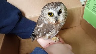 Download Injured Owl Rescued | Cute Saw Whet Owl | Released Back into the Wild Video