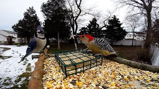 Download Gopro Bird feeder cam Video