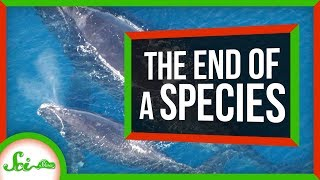Download The Beginning of the End of North Atlantic Right Whales?   SciShow News Video