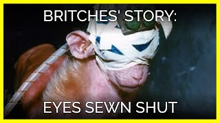 Download Britches' Story: Eyes Sewn Shut | Baby Monkey Abused for Animal Testing Video