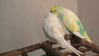 Download Erkek muhabbet kuşu çiftleşme isteği SESİ Video
