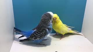 Download Muhabbet kuşu kızıştırma ve çiftleştirme Video
