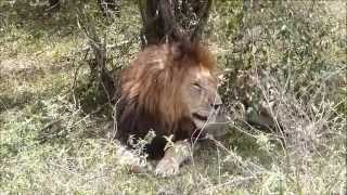 Download The Notches famous coalition of big male lions - Masai Mara Video