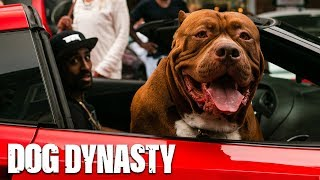 Download Giant Pit Bull Hulk Visits The Birthplace Of DDK9s | DOG DYNASTY Video