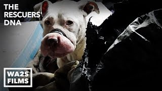 Download Hope For Paws As Dogs Rescued From Dog Fighting By Animal Cops Detroit: The Rescuers DNA Video