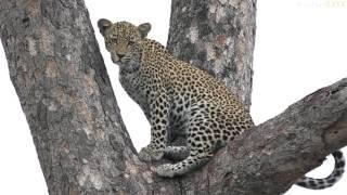 Download Leopard on foot! - #safariLIVE Video