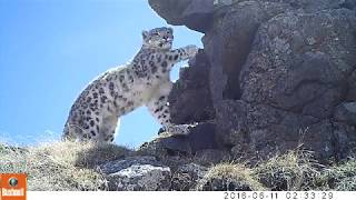 Download Snow Leopards in Western Mongolia Video