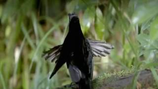 Download BBC Natural World's (Birds of Paradise) © Video