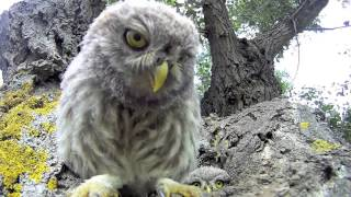 Download Curious baby owls investigate camera Video