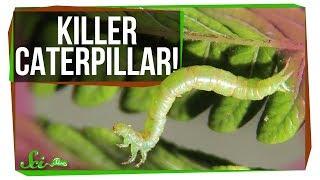 Download Meet the World's Most Terrifying Caterpillar Video