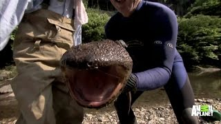Download Up Close and Personal with a Giant Salamander Video
