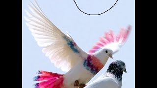 Download Pigeon Show Homing Pigeon Races | High flying pigeon & Millionaire Pigeon Racers | Fun Entertainment Video