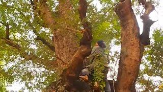 Download ผึ้งเดือน๕/๕ค่ำ// Cortar a abelha na árvore alta Video