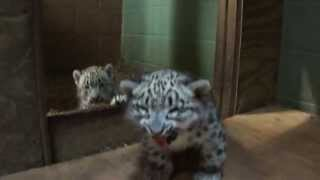 Download Cape May County Zoo..Snow Leopard Cubs..6/6/13..7 weeks old Video