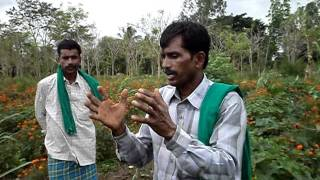 Download Good Agriculture Practices by Bannur Krishnappa, Mysore Dist, Karnataka Video