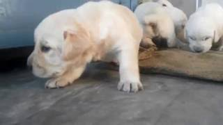 Download Top Show Quality Labrador Puppies Available For Sale Video