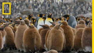 Download Go Inside an Antarctic 'City' of 400,000 King Penguins — Ep. 4 | Wildlife: Resurrection Island Video