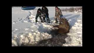 Download Спасение лосихи Saving the moose Video