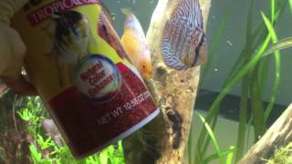 Download What to feed Discus !? Everything you need to know ! Video