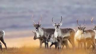 Download Large Mammals of Alaska - Wild Photo Adventures Video
