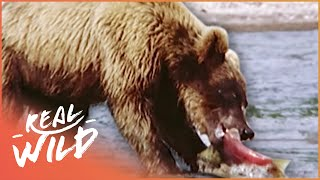 Download A Grizzly Paradise [Grizzly Bear Documentary] | Wild Things Video