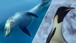 Download Emperor Penguins v Leopard Seal | Blue Planet | BBC Earth Video