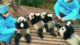 Download PANDAS - OFFICIAL TRAILER [HD] Video