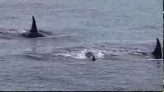 Download Wild Orcas of Puget Sound Video