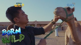 Download Born to Be Wild: Doc Derds visits a camel market in Abu Dhabi Video