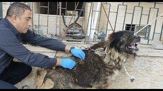 Download كلب القوقازي الشرس ثاني اقوه كلب بالعالم العلاج مستمر مع جمال العمواسي Video