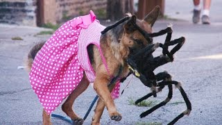 Download Giant Robot Spider Scares Dogs 4K (Situation X - S2 E1) Video