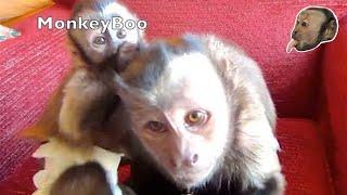 Download Capuchin Monkey LOVES Baby Capuchin Friends Video