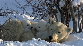 Download Celebrate International Polar Bear Day With These Adorable Cubs and Their Mom! ❄️️ Video